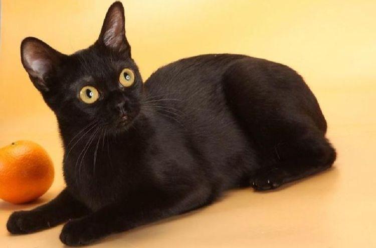 Бомбейская черная кошка