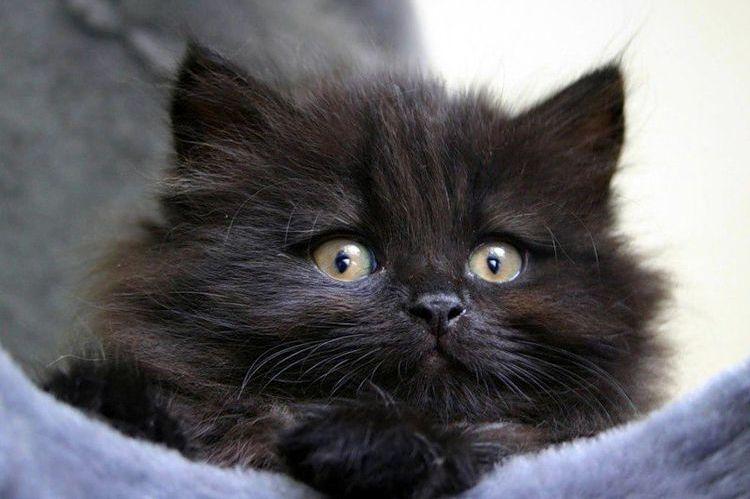 Черный сибирский котенок