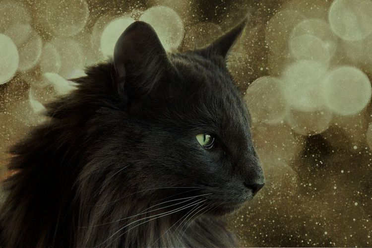 Норвежская лесная черная кошка