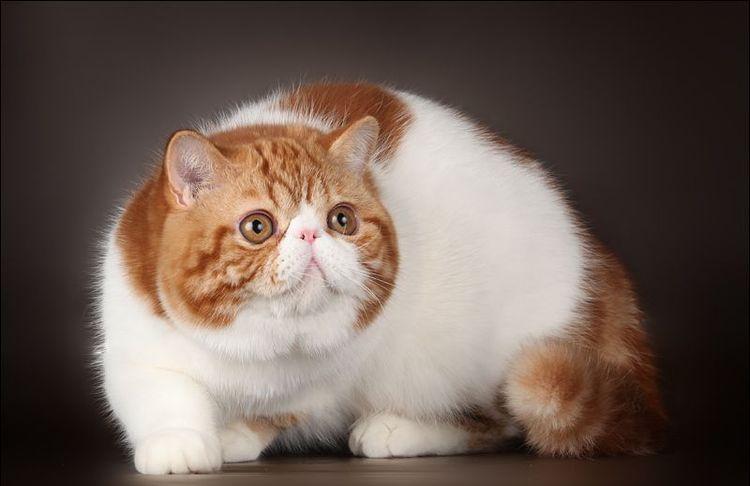 воздействия персидская экзотическая кошка фото вертлюг своего