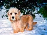 Денди-динмонт-терьер в снегу