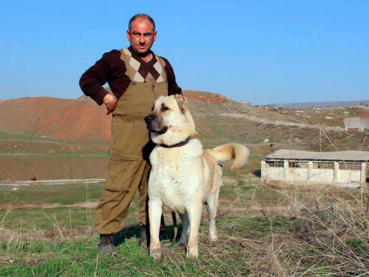 гампр - армянский волкодав