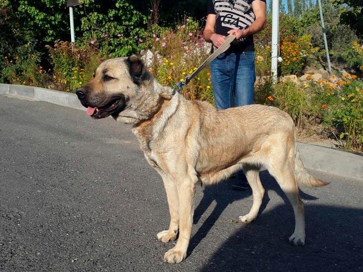 порода собак гампр