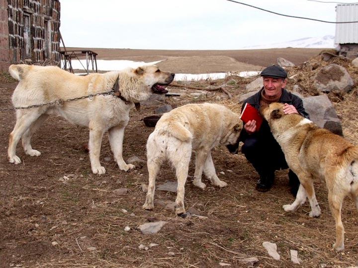 армянские волкодавы гампры