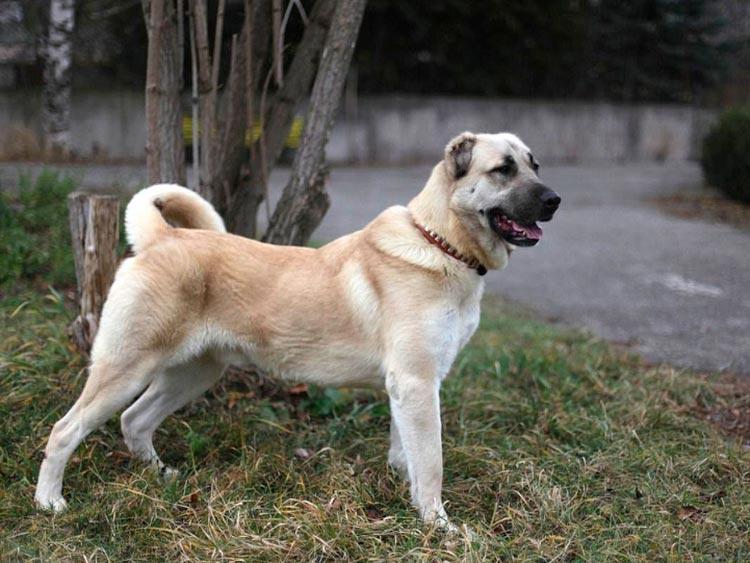 собака породы гампр