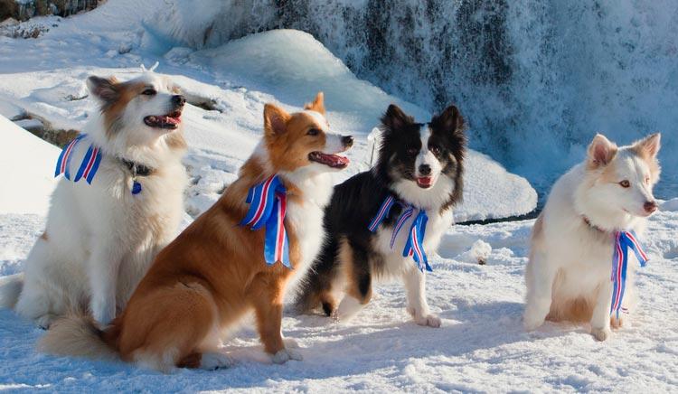 исландские собаки разного окраса