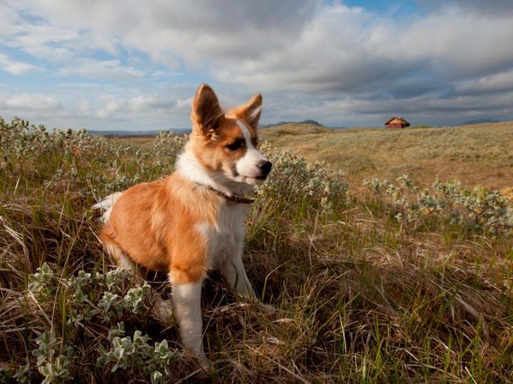 Исландская собака характер