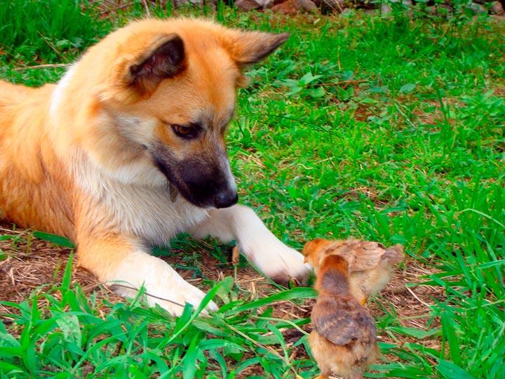 щенок-подросток Исландская собака