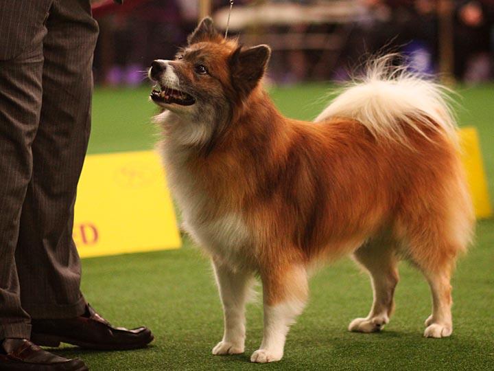 Исландская собака на выставке