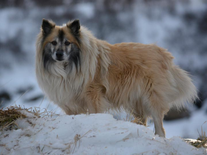 Исландская собака на снегу