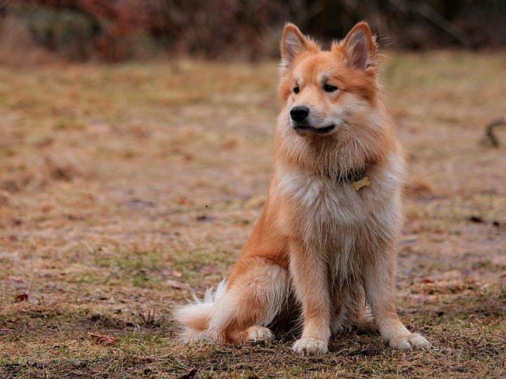 порода собак исландская овчарка