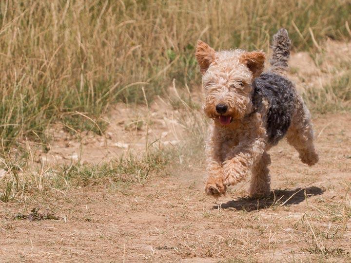 собака породы лейкленд терьер