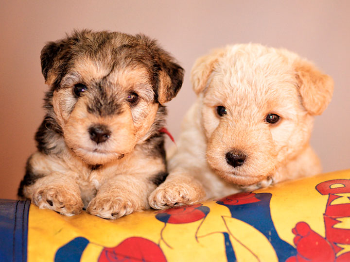 два щеночка лейкленда