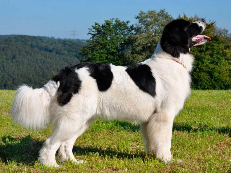 собака породы Ландсир