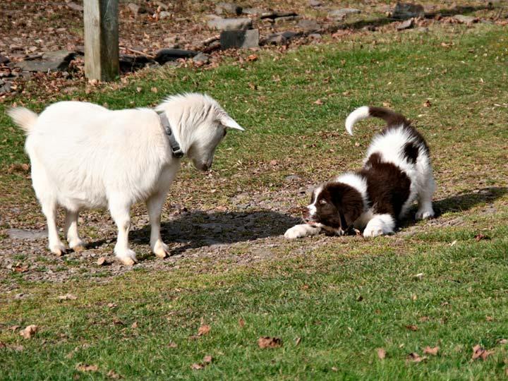 коричнево-белый щенок ландсира