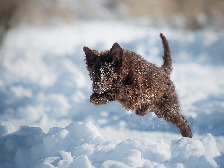 щенок венгерский муди