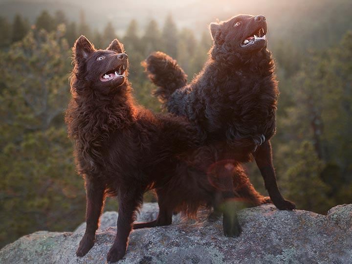 собаки породы муди