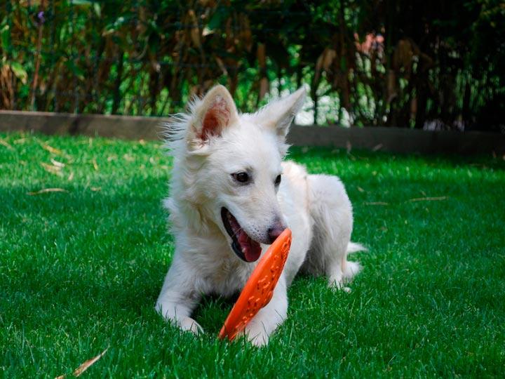 белый муди щенок-подросток