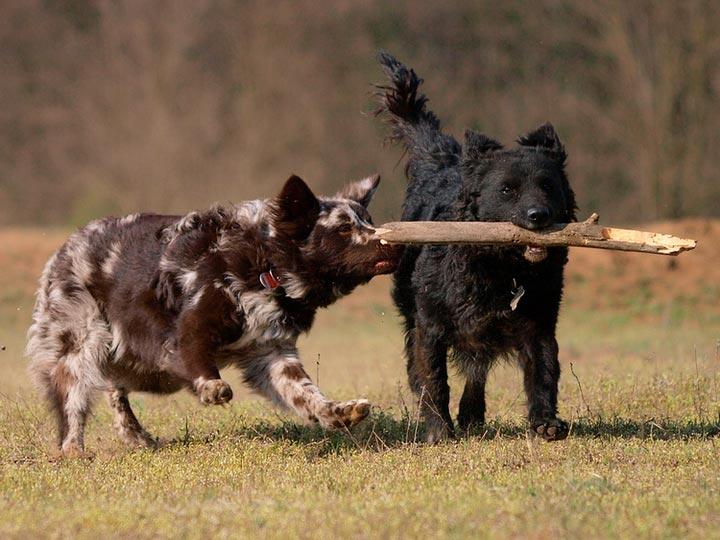 две собаки муди