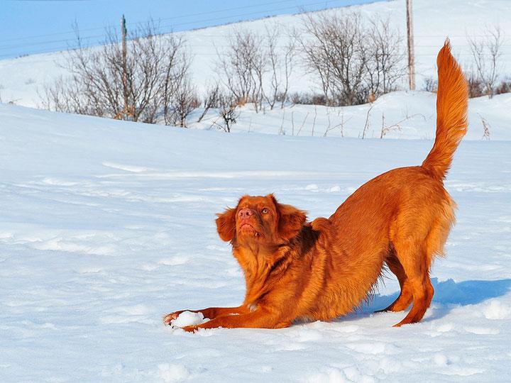 новошотландский ретривер на снегу