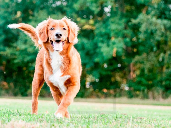 новошотландский ретривер порода собак
