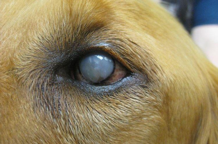 Бельмо на глазу у собаки
