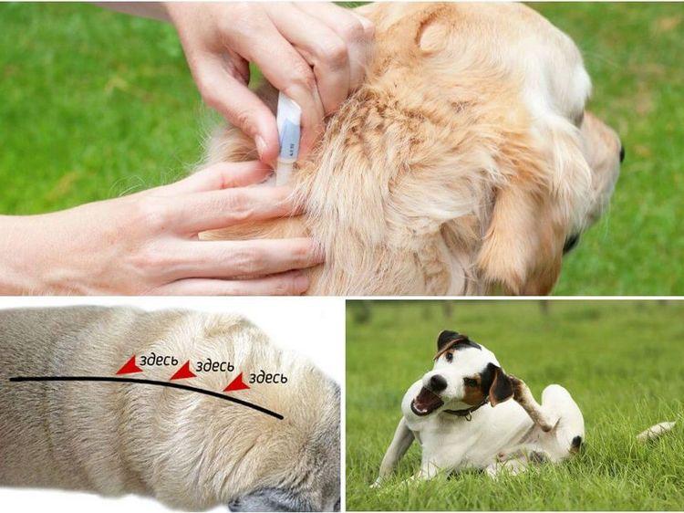 Обработка собаки каплями от паразитов