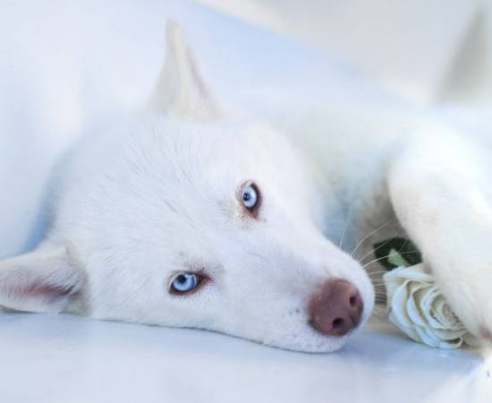 Белая собака с голубыми глазами