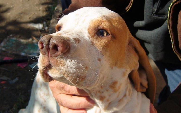 собака с раздвоенным носом