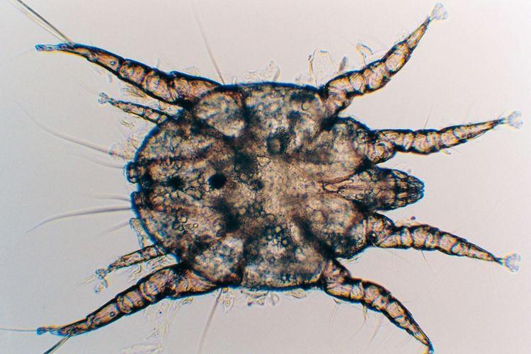 Ушной клещ Otodectes cynotis