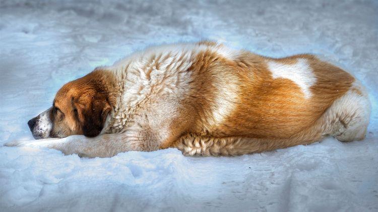 Собака лежит на снегу