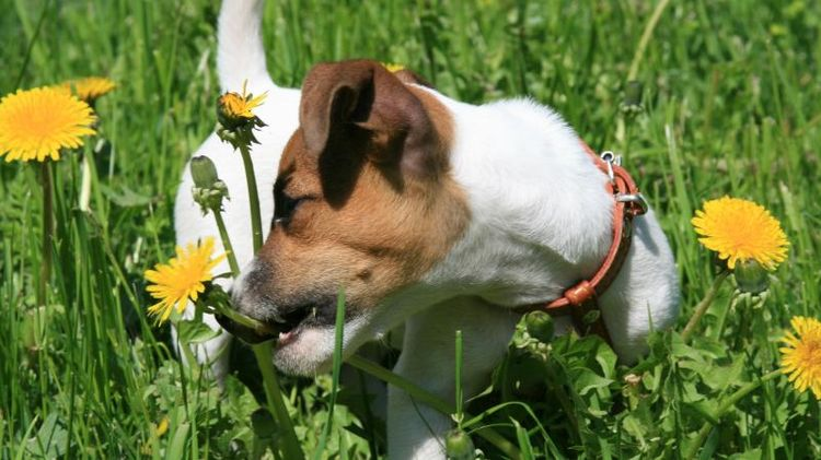 Собака ест одуванчики