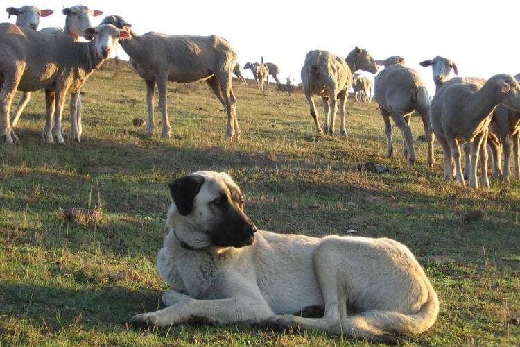 Собака на пастбище