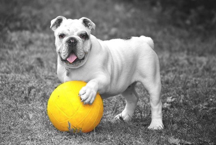 Собака с желтым мячиком