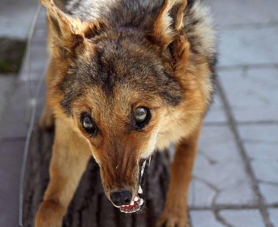 Бешенство у собак