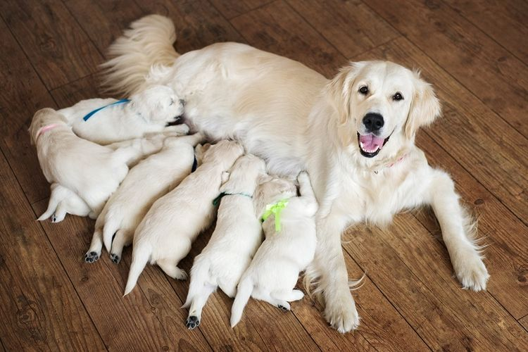 Собака кормит щенков