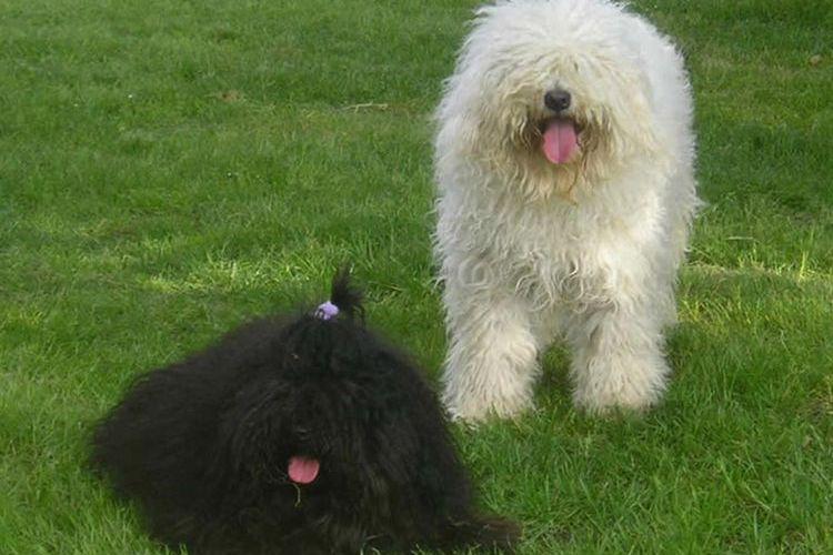 Пули - собака с дредами