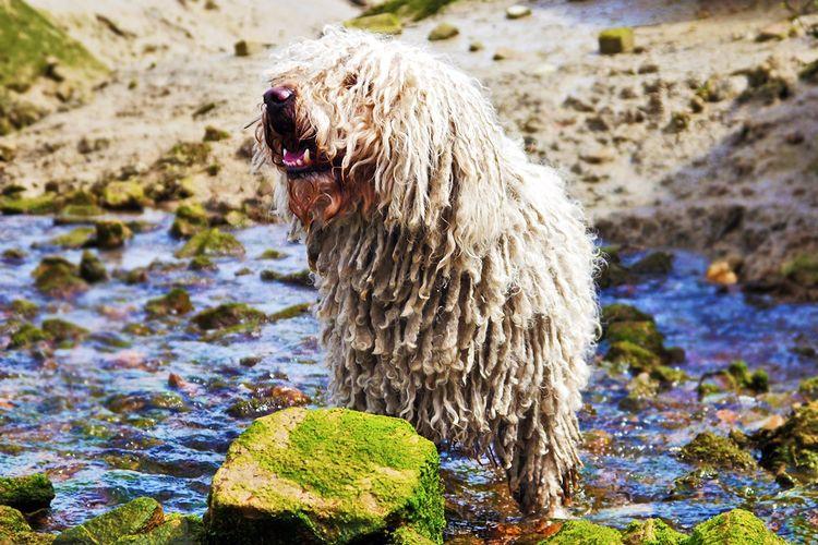 Собака с дредами