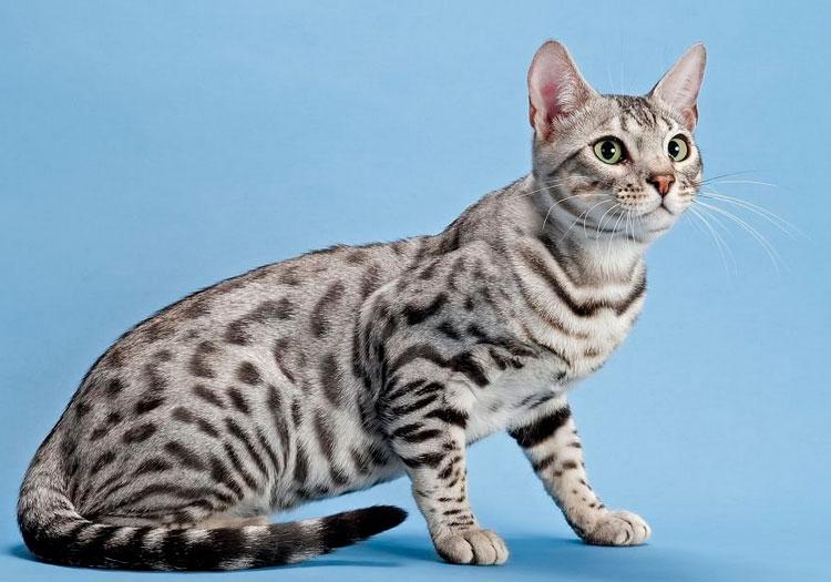 Бенгальская кошка серебристая