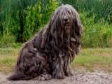 порода собак бергамская овчарка