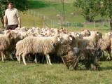 питомник бергамских овчарок