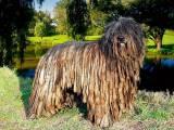 бергамская овчарка - собака с дредвми