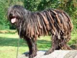 собака породы бергамская овчарка