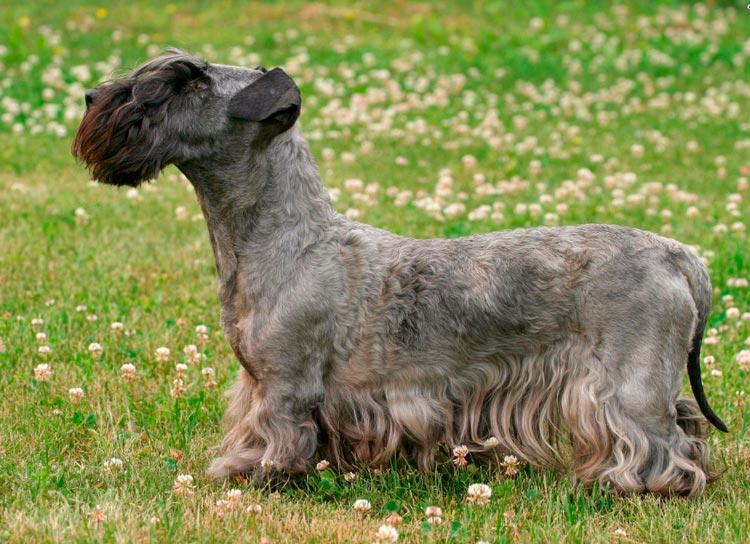 собака породы Чешский терьер