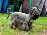 Чешский терьер - собака-компаньон