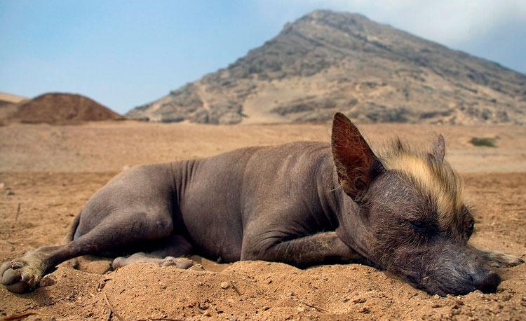 Перуанская голая собака инков