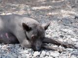 Перуанская голая собака сколько стоит