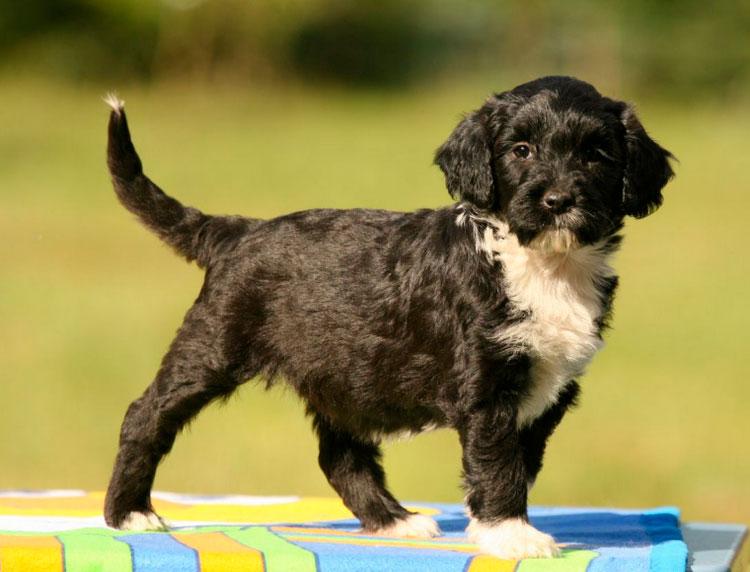 щенок породы Португальская водяная собака