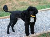 Португальская водяная собака цена