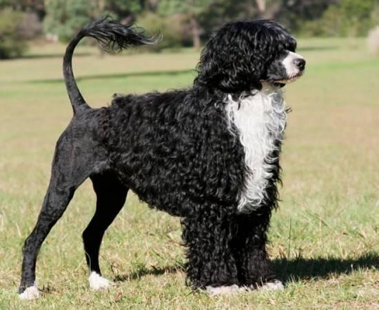 стандарт породы Португальская водяная собака